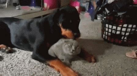 rottweiler gif cat anything gif find on giphy