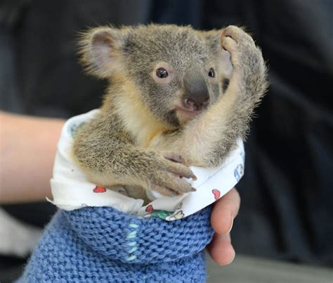 baby koala hugs unconscious mom during life saving surgery