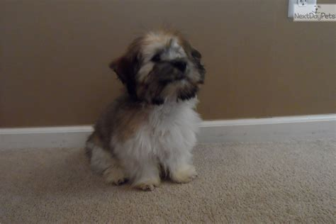teddy puppies for sale in ky havanese teddy puppies for sale breeds picture