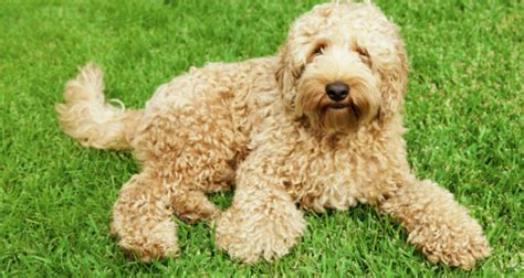 most hypoallergenic dogs 10 most popular hypoallergenic dogs puppy lover news page 4