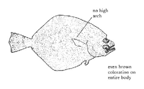 coloring pages flatfish redirect