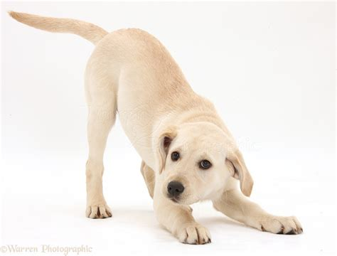 playful puppy playful yellow labrador retriever puppy photo wp41591