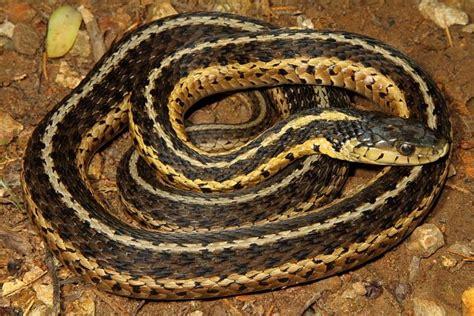 Garter Snake Ky Eastern Garter Snake Snakes Southeastern Kentucky