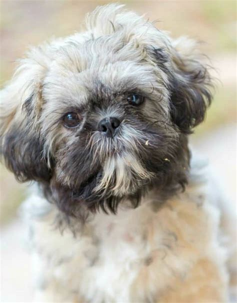 purebred shih tzu cost shih tzu dogs puppies breeds pet symptoms