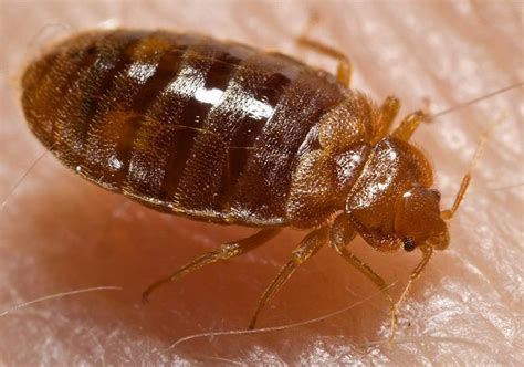 do bed bugs stay on your skin bed bugs erie county ny department of health