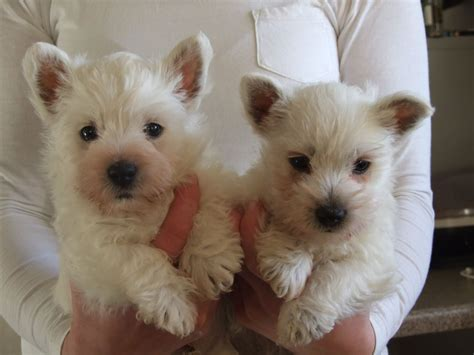 west highland white terrier puppies for sale west highland white terrier puppies for sale biggar lanarkshire pets4homes