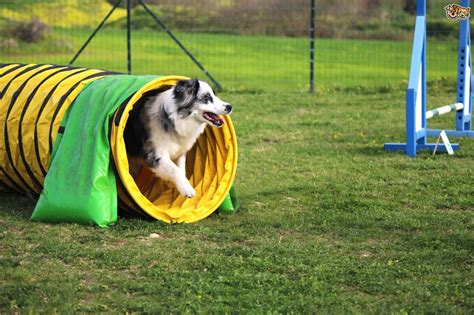 agility equipment for dogs a explanation of agility equipment pets4homes