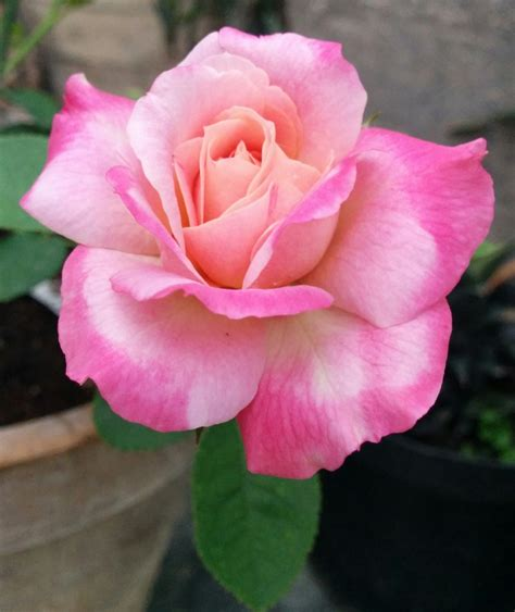 rose s american rose society