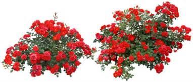 garden chrysanthemum flower tree psd free download
