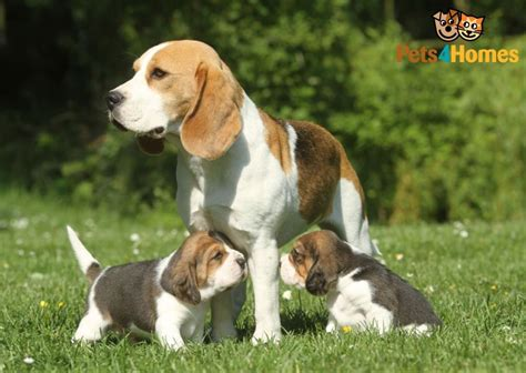 buy beagle puppy beagle breed information buying advice photos and facts pets4homes