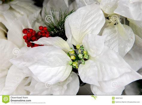 christmas decorations white poinsettia stock photo
