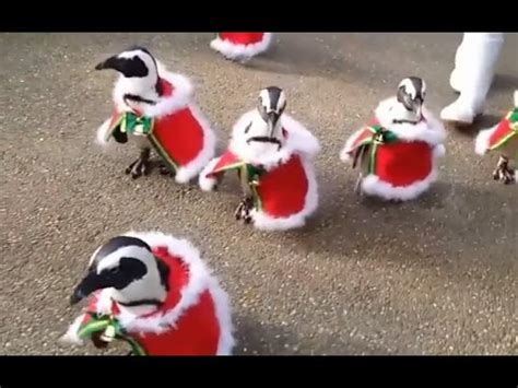 japanese penguins  santa outfits video