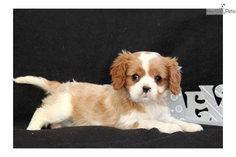 king charles cavalier puppies for sale near me cavalier king charles spaniel cavalier king charles spaniel puppy for sale