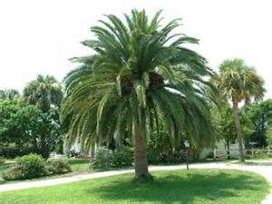 Related posts palm trees native to florida usa thatch palm trees