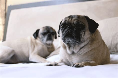 everything to about pugs pug gif find on giphy