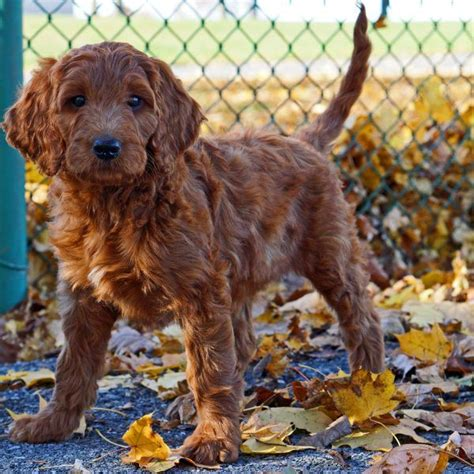 irish setter golden doodle irish doodle irishdoodle irish doodles pinterest