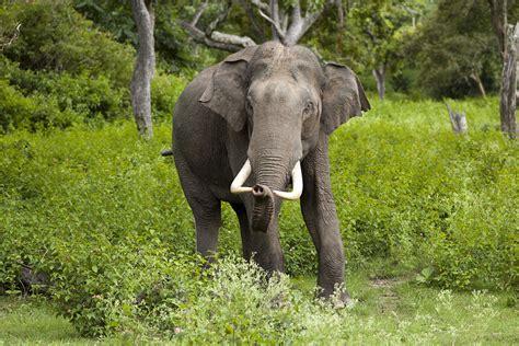 Indian elephant - Wikipedia