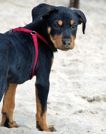 doberman rottweiler mix puppies robbie the rottweiler mix puppies daily puppy
