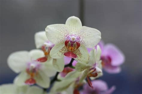 come fare per far fiorire le orchidee come far fiorire le orchidee le orchidee sono piante