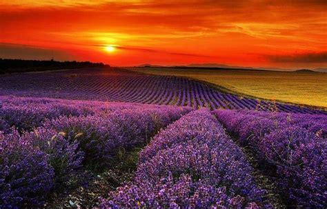 Raflesia Lavender lavender fields stara zagora bulgaria lavender lavender bulgaria and lavender