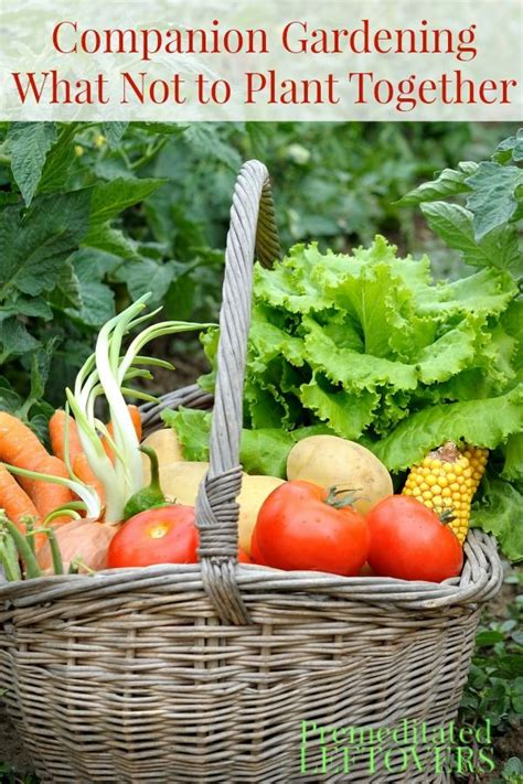 vegetable garden what to plant together companion gardening what not to plant together gardens