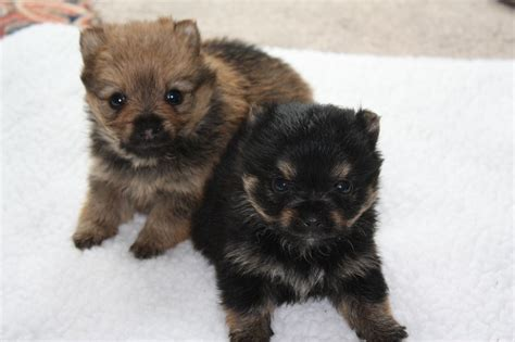 how much does a pomeranian cost uk pomeranian x terrier for sale uk dogs in our photo