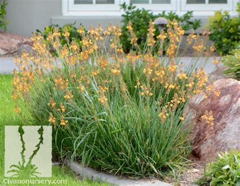 tiny plant compact orange bulbine bulbine frutescens tiny