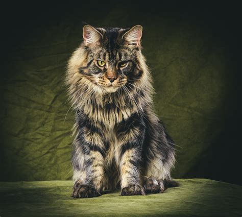 Mycybertwin Chats For You The Human Race Becomes Unneccessary by Aggressiveness In Coons Maine Coon Admirer