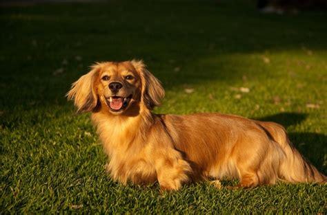 golden retriever and dachshund golden retriever dachshund mix woah my style