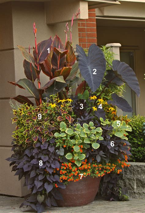 contained garden tropicanna black in todd holloway container garden flickr