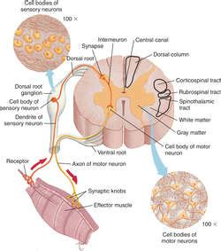 spinal cord definition of spinal cord by dictionary