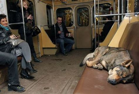puppy in russian stray russian dogs commute to work by subway