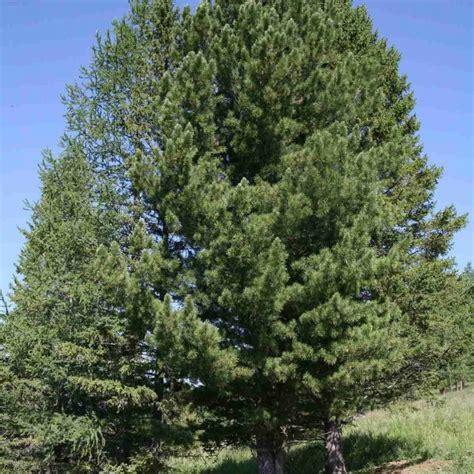 PINUS CEMBRA SIBIRICA Siberian Pine