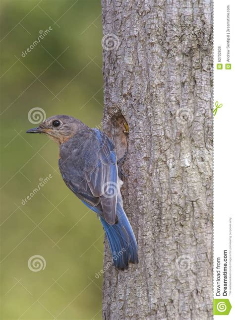 eastern bluebird at her nest royalty free stock image