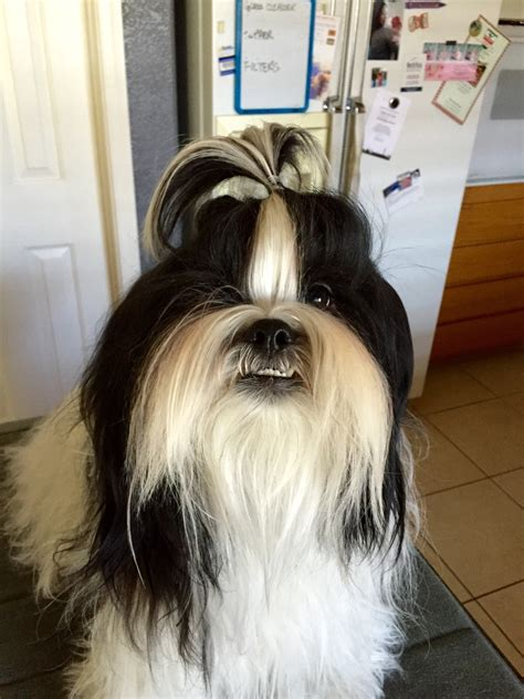 shih tzu with cut pin shih tzu haircuts on