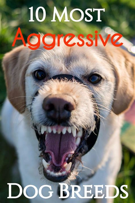 breeds and information 10 most aggressive breeds temperament ratings and