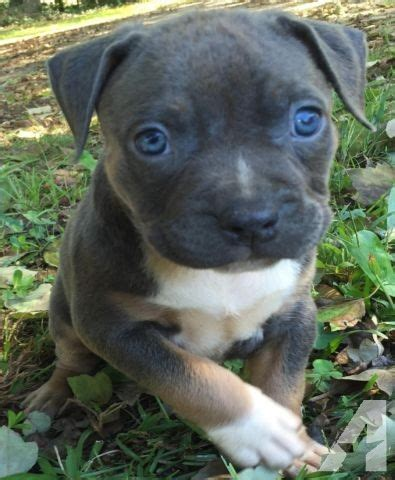 bully puppies for sale in ga ukc abkc pocket chion bred american bully puppies for sale in barnesville