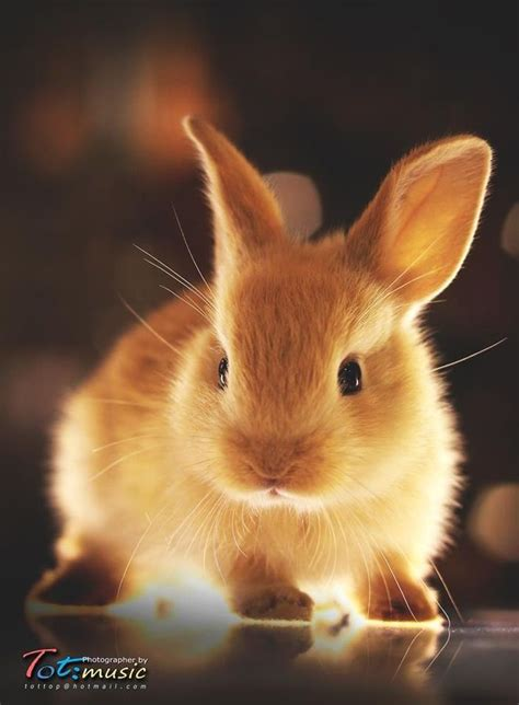 Golden Rabbit by 116 Best Rabbits Hares And Bunnies Images On