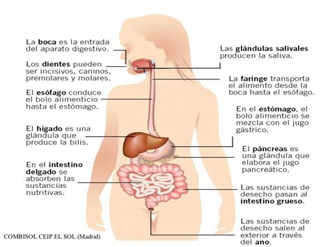 digestivo images aparato que funcion cumple el sistema picture aparato digestivo y funci 243 n de nutrici 243 n