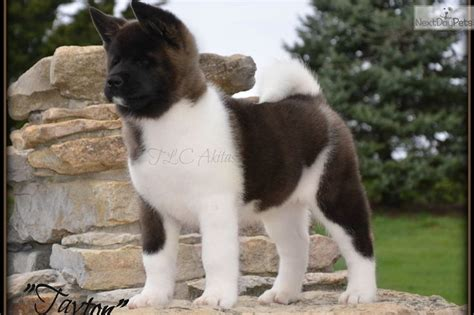 puppies for sale st joseph mo 25 best ideas about akita puppies for sale on akita japanese akita and