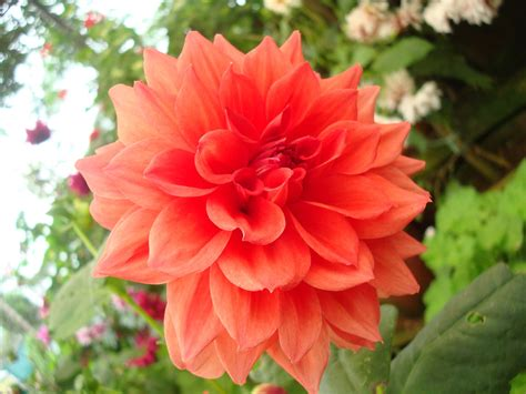 Coral Color File Orange Colored Flower Jpg Wikimedia Commons