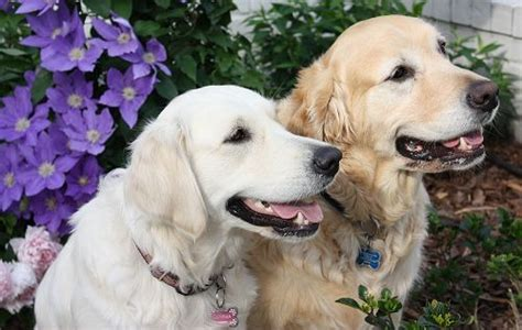golden retrievers in carolina carolina golden retriever assistedlivingcares