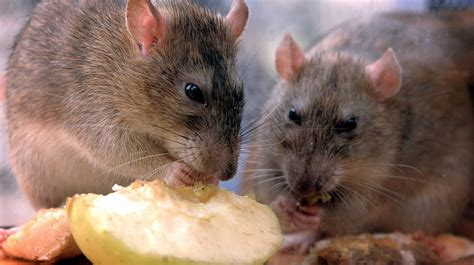 Would You Eat A Rat by Rat Bite Fever From Pet Rodents In