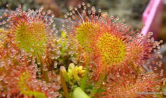 Drosera rotundifolia a picture is worth a thousand words