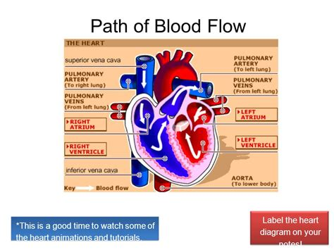 diagram of the and blood flow how many chambers does the ppt