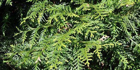 thuya occidentalis medicina integrativa mejores 155 im 225 genes de salud homeopat 237 a en pinterest
