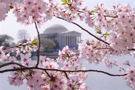 cherry blossom image the enchanted home