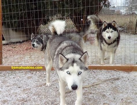 siberian husky puppies for sale in alabama snow dogs in alabama siberian husky puppies for sale
