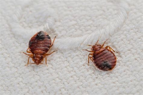 one bed bug does bleach kill bed bugs this plus other diy solutions