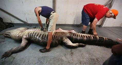 Records In Alabama They A World Record Gator In Alabama And Then